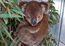 Wildlife recovery gets boost from Moreton Bay Koala Rescue & Planit